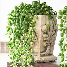 Senecio Rowleyanus - String of Pearls | Indoor Plants for Sale | 20-30cm Potted