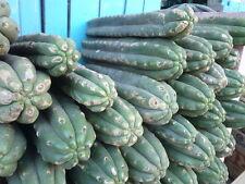 15 Semillas - Cactus San Pedro - Echinopsis pachanoi - Medicinal - Trichocereus