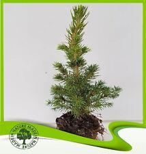 Picea glauca conica (White Spruce) - Plant