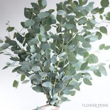 Silver Dollar Eucalyptus 5 Bunches Wholesale / Grower Direct