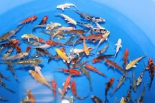 "Live Koi Carp for Sale - Mixed variety 2"" - 3"" Bundles 10 - 200 FREE DELIVERY*"