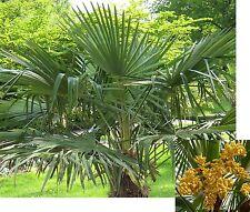 15 Samen Chinesische Hanfpalme (Trachycarpus fortunei), winterhart und robust