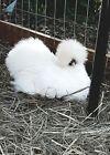 12 +++ Silkie Chicken Fertile Hatching Eggs!!