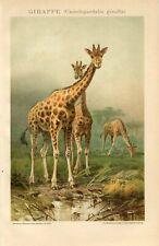 1895 GIRAFFE Antique Chromolithograph Print