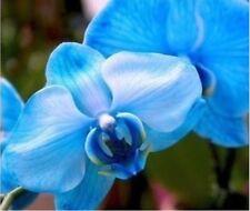Blue Phalaenopsis flower seeds cattleya flower butterfly orchid seeds - 100 pcs