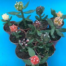 2161. Astrophytum myriostigma x 10 mutants FULL COLOUR / ariocarpus aztekium