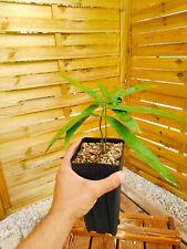 Zamia loddigesii 2-3 feuilles ! Cycad, cycas, encephalartos