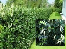 12 Prunus lusitanica Portuguese Laurel Evergreen shrub bushy Hedging Plant trees