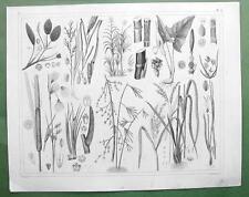 AQUATIC PLANTS Robin Bamboo Cane Rice Cattail Sweet Flag - 1844 Engraving Print