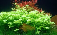 bacopa australis  plante buissonante aquarium facile debutant