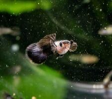 Dwarf Black Panda Guppy Pair, Free Shipping, TROPICAL FISH HEALTHY GUARANTEE