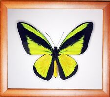 Real Insect: Ornithoptera goliath samson male in frame made of expensive wood !