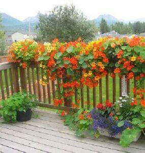 10 NASTURTIUM CLIMBING MIXED SEEDS Trailing Hardy Annual Flower UK Post