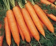 BIG PACK SIZE Carrot seeds Scarlet Nantes vegetable from Ukraine 10 grams