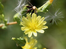 New listing Wild Lettuce (Lactuca virosa) 100 seeds from Moldova