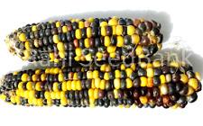 Corn Bumble Bee - A Beautiful & Stunning Black Yellow Corn Variety!!!