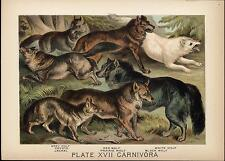 Grey red white wolf jackal coyote dogs 1875 color chromo wonderful antique print