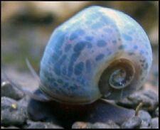 6+ Blue Leopard Ramshorn Snails, plant safe,  algae eater.  + FREE CALCIUM