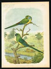 Red-rumped Parrots, Croupion Rouge Australia, Acclimatation Illustre Feb 1883