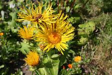 Echter Alant 30 Samen - Inula Helenium  Heilpflanze - Färberpflanze Gewürz