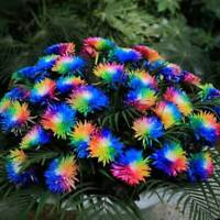 100 Rainbow Chrysanthemum Flower Seed,Rare Special Unique Unusual Colorful