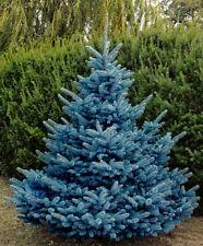 Picea pungens Blue Diamond grafted 1.5L pot for potential bonsai Colorado Spruce