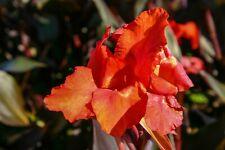 """Live Red Flower Canna """"Australia"""" Tropical Aquatic Marginal Pond Plant"""