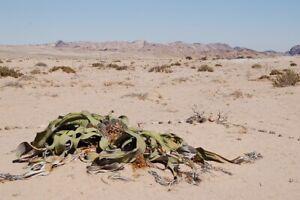 Welwitschia Mirabilis Welwitschia Namibia Can Grow 2000 years old * 3 Rare seeds