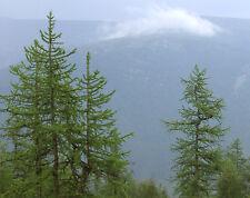 12 Semillas - Alerce de Siberia - Larix Sibirica - Jardín Árbol -Tree Garden