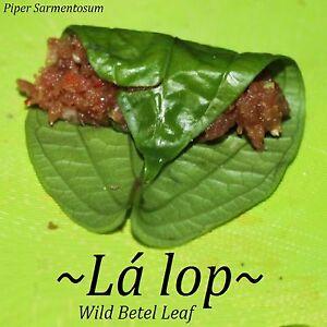~LALOT~ Piper Sarmentosum WILD BETEL LEAF Culinary Thai SPICE Live Potd sm Plant