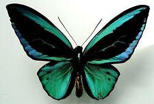 Ornithoptera PRIAMUS TEUCRUS MALE...TWO FORM! EUMAEUS+RADIANS....VERY RARE!