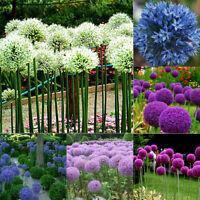 100Pcs Giant Onion Seeds Allium Giganteum Flower Plant Home Garden Bonsai Decor