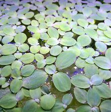 5 Dwarf Water Lettuce + Free Bonus Live floating plants aquatic aquarium pond