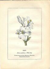 Stampa antica PIANTE DELLA BIBBIA LILIUM Lilium candidum 1842 Old antique print