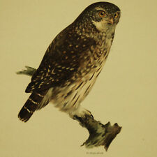 CIVETTA NANA Pygmy Owl - Cromolitografia Originale 1800 Ornitologia Hornitology