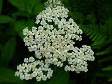 Achillea millefolium (Common Yarrow) perennial wildflower seed packet, Z 3 - 9