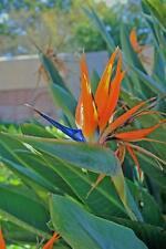 Strelitzia Bird of Paradise Flowering Ornamental House Office Live Indoor Plant