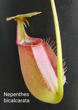 Nepenthes Bicalcarata seeds (15) Tropical Pitcher Plant