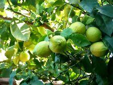 10 Graines Citrons de MENTON Bio - Rare ! pépin lemon citrus