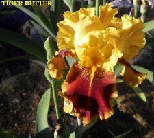 "1 ""Tiger Butter"" Historic Tall Bearded Iris Rhizome"