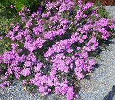Purple-Pink Pigface Groundcover  - Pack of 20 cuttings