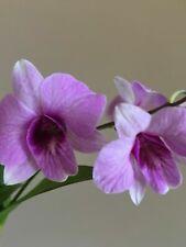 Live Orchid Plant Dendrobium Mini Den Enobi x Burana Doll Clone Cross