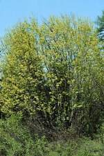 "Acer Glabrum ""Rocky Mountain Maple"" 3 Native tree, shrubs, Plants Free Shipping!"