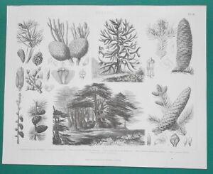 TREES Botany Spruce Pine Cedar of Lebanon Larch Fir - 1870 Antique Print