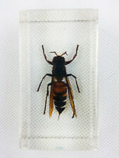 Real Asian Ground Hornet Insect Specimens In Lucite Paperweight Acrylic Crafts