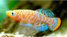 30 EGGS NOTHOBRANCHIUS RACHOVII BEIRA KILLIFISH KILLI EGG HATCHING TROPICAL FISH