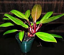"""Philodendron Hybrid 'RED KING' 5"""" Pot Easy Tropical Houseplant Gorgeous Colors"""