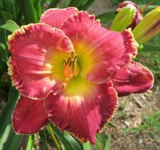 Daylily Plant DIVINE COMEDY Perennial Moldovan Rosey Purple 2 Fans Flower
