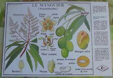 Création Affiche scolaire Set de Table Rossignol Mangier Anacardiaciée Format A3
