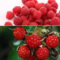2000X Reines Rot Himbeeren Rubus Samen Seeds Antioxidant Obst Gemüse Pflanz L2T7